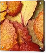 Closeup Of Dwarf Birch Leaves Autumn Ar Acrylic Print