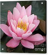 Closeup Of Pink Waterlily In A Pond Acrylic Print