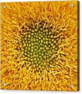 Closeup Of Sunflower Acrylic Print
