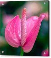 Closeup On Spadix Flower. Acrylic Print