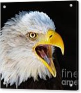 Closeup Portrait Of A Screaming American Bald Eagle Acrylic Print