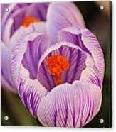 Closeup Striped Purple Crocus Vernus Acrylic Print