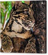 Clouded Leopard 2 Acrylic Print