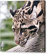 Clouded Leopard Cub Acrylic Print