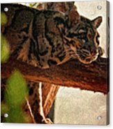 Clouded Leopard II Painted Version Acrylic Print