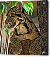 Clouded Leopard Acrylic Print