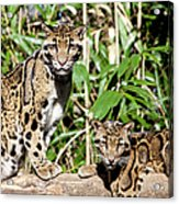 Clouded Leopards Acrylic Print