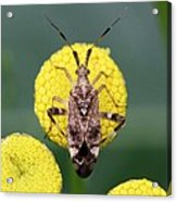 Clouded Plant Bug On Tansy Acrylic Print