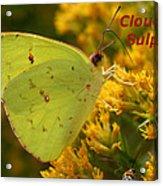 Cloudless Sulphur Acrylic Print