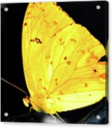 Cloudless Sulphur Butterfly Acrylic Print