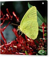 Cloudless Sulphur Butterfly Acrylic Print