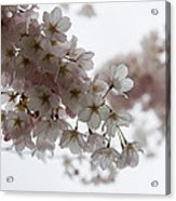 Clouds Of Soft Pink Blossoms - A Tribute To Spring Acrylic Print