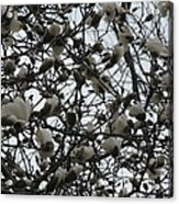 Cloudy Day For Young Magnolias Acrylic Print