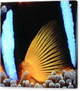 Clownfish 1 Acrylic Print