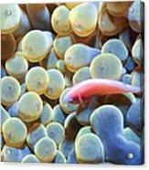 Clownfish 56 Acrylic Print