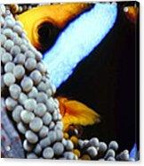 Clownfish 7 Acrylic Print