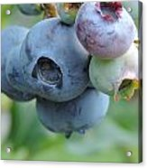 Clump Of Blueberries 2 Acrylic Print