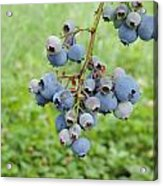 Clump Of Blueberries 3 Acrylic Print