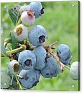 Clump Of Blueberries Acrylic Print