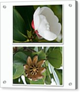 Clusia Rosea - Clusia Major - Autograph Tree - Maui Hawaii Acrylic Print by Sharon Mau
