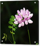 Cluster Of Crown Vetch Acrylic Print