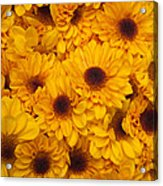 Cluster Of Yellow Blooms Acrylic Print