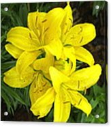 Cluster Of Yellow Lilly Flowers In The Garden Acrylic Print