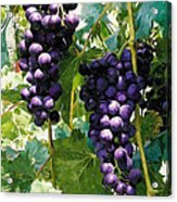 Clusters Of Red Wine Grapes Hanging On The Vine Acrylic Print