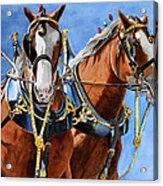 Clydesdale Duo Acrylic Print