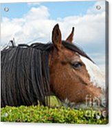 Clydesdale Horse Munching Acrylic Print