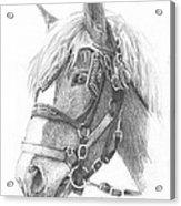 Clydesdale Horse Pencil_portrait Acrylic Print