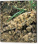 Coast Horned Lizard Acrylic Print