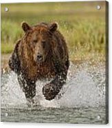 Coastal Grizzly Boar Fishing Acrylic Print by Kent Fredriksson