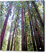 Coastal Redwoods Reach For The Sky In Armstrong Redwoods State Preserve Near Guerneville-ca Acrylic Print