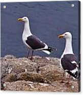 Coastal Seagulls Acrylic Print