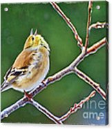 Cock-a-doodle Doo Gold Finch - Digital Paint Acrylic Print
