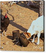 Cock N Goat Acrylic Print