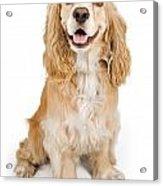 Cocker Spaniel Dog Isolated On White Acrylic Print