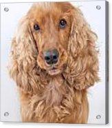 Cocker Spaniel Dog Portrait Acrylic Print