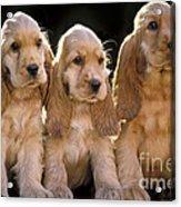 Cocker Spaniel Puppies Acrylic Print
