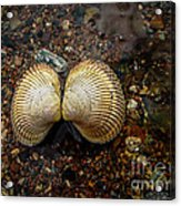 Cockle Acrylic Print