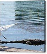 Crocodile In Cancun Acrylic Print