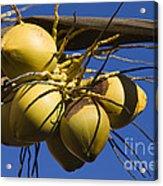 Coconut 1 Acrylic Print