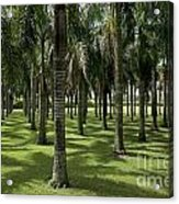 Coconuts Trees In A Row Acrylic Print by Sami Sarkis