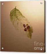 Coffee Beans On Coffea Arabica Leaf Acrylic Print