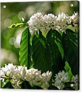 Coffee Coffea Arabia Blossoms, Kona Acrylic Print