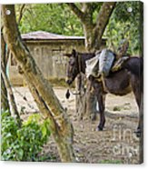 Coffee Country Dominican Republic Acrylic Print