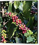 Coffee Farming. Northern Thailand Acrylic Print