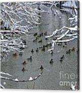 Cold Ducks Acrylic Print