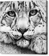Cold Stare - Drawing Acrylic Print